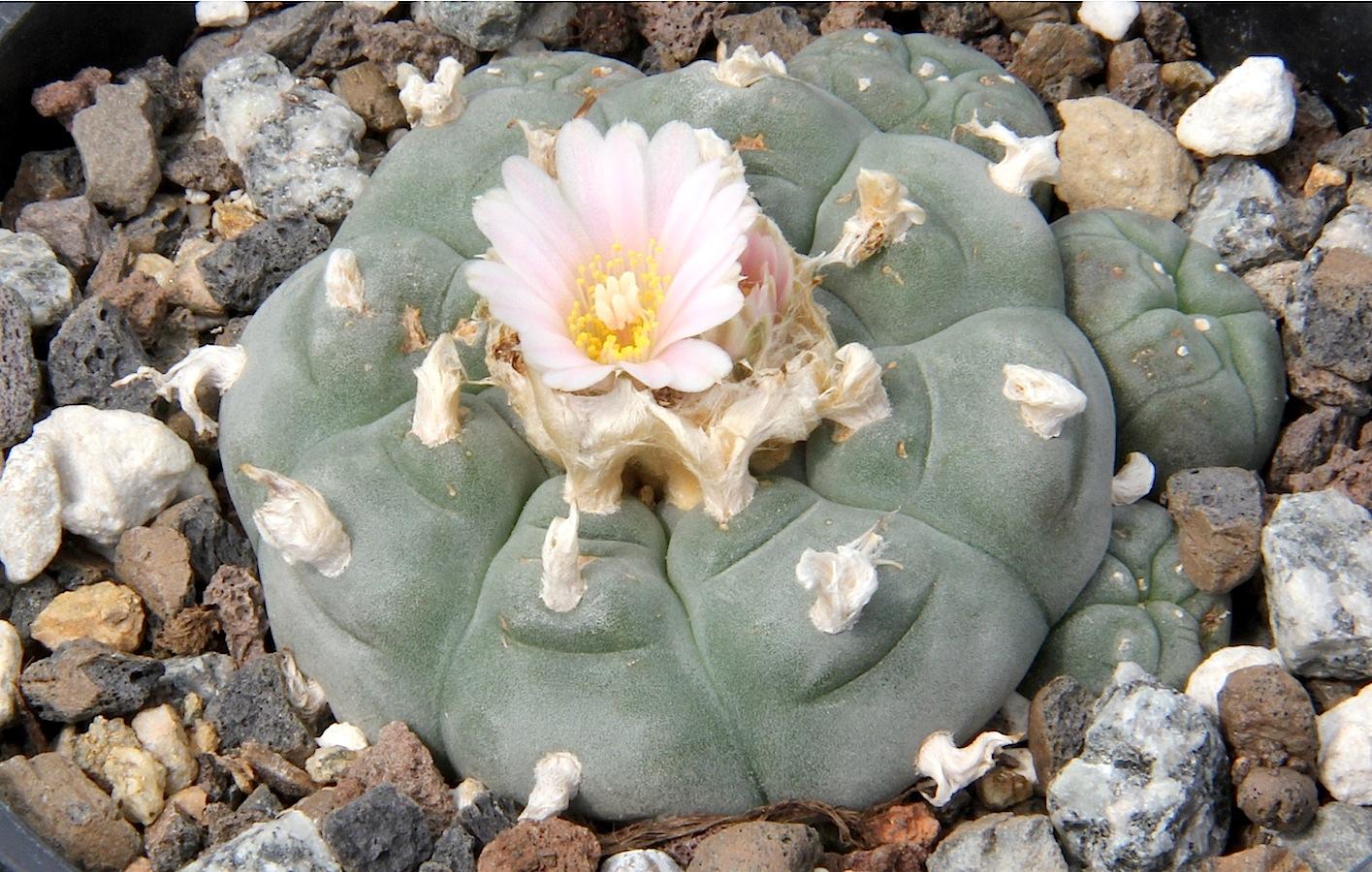 Was hat ein Kaktus mit Meskalin zu tun